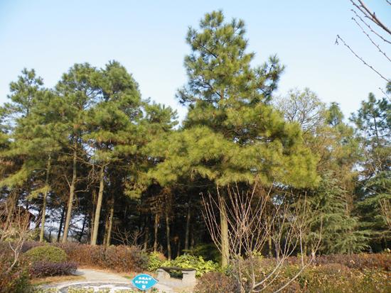 这几棵松实在是绿的可爱,看来即便是长青的松,在春天也会变得更绿更美。