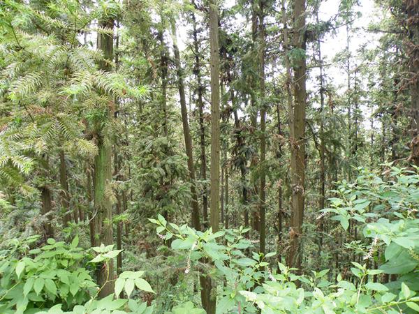 周边山的要植被是竹子,而龙山的主要植被是松树,松细而密