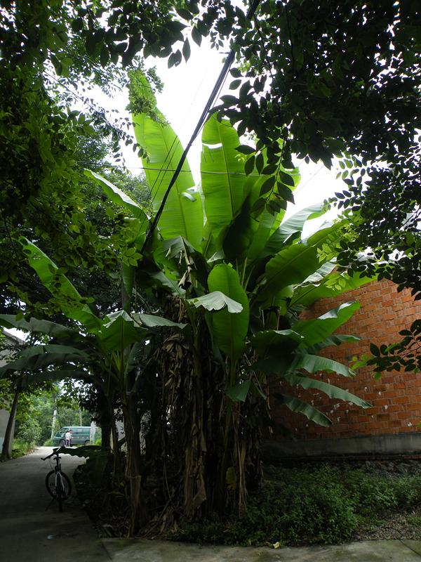俞家村的芭蕉树,高大葱郁,不知道生了多少年了。
